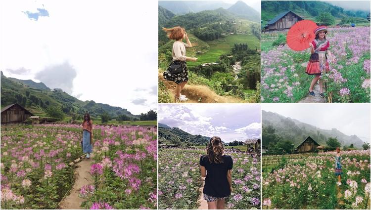 Phát hiện cánh đồng hoa hồng Ri đẹp ngất ngây ở Sapa