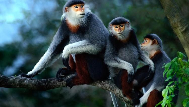 Thích thú xem voọc chà vá dùng điểm tâm ở núi Sơn Trà