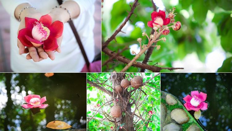 Ghé Huế, vào chùa Thiên Mụ 400 năm tuổi ngắm những đóa sala – hoa của sự yên lành